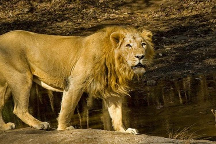 A representative image of an Asiatic Lion