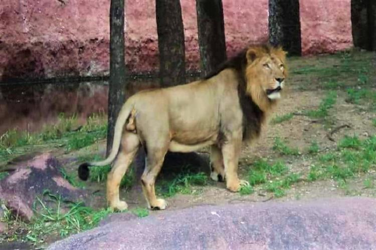 19-year-old Asiatic lion Atul dies of old age at Hyd zoo