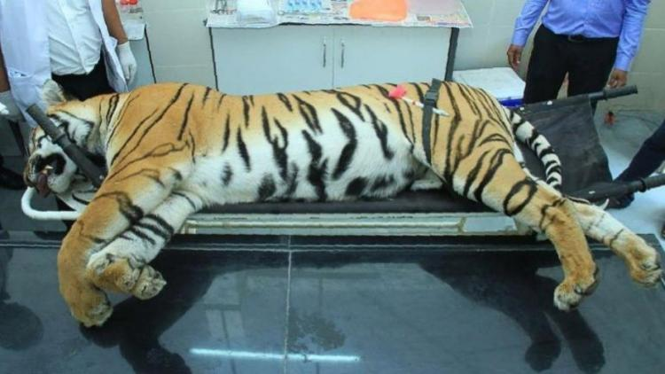 Hyd shooters claim of killing tigress Avni in self-defence untenable Maha state panel