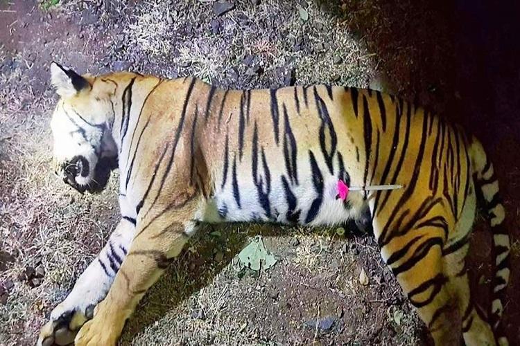 Image result for avni the tigress