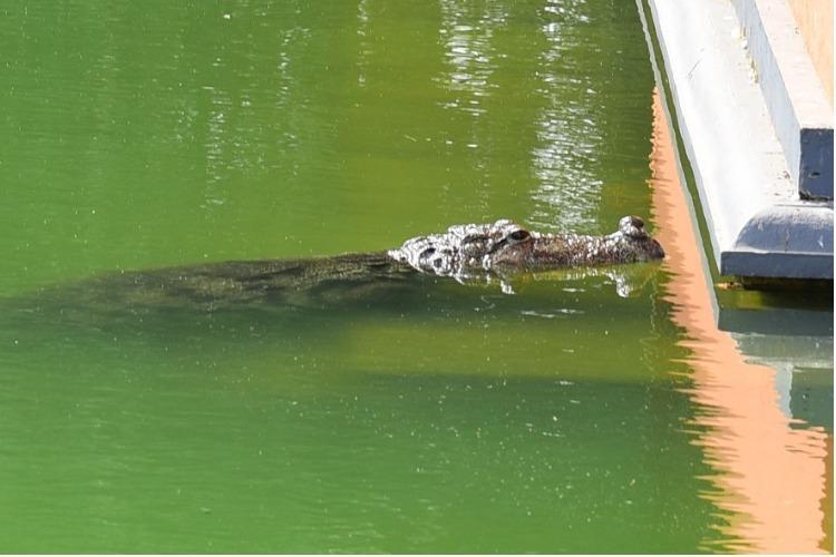 Meet Babiya Keralas vegetarian crocodile who lives in a temple pond and loves rice