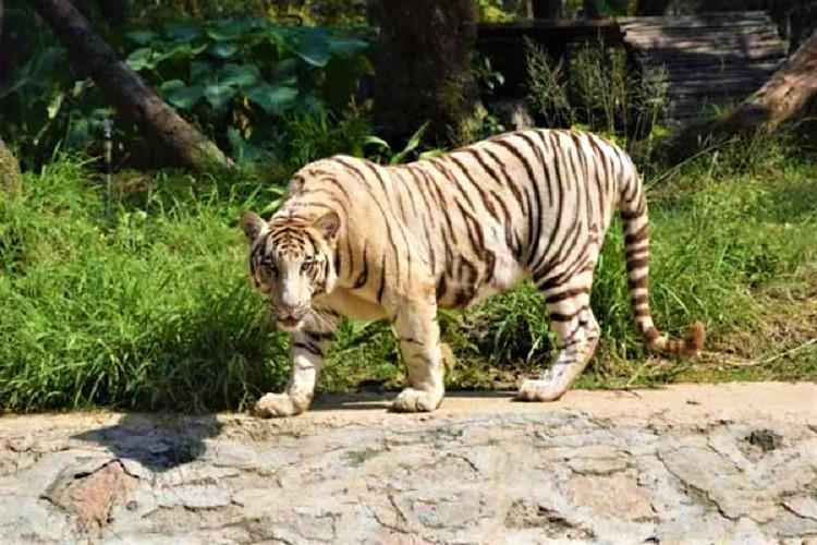 Hyderabad zoo sees second white tiger death this month as 14-yr-old Badri passes away