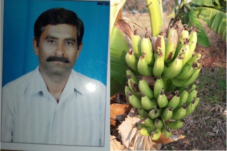 As prices crash farmer distributes bananas free in village