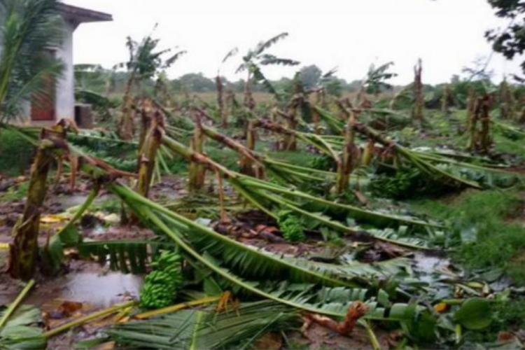 Plantain crops damaged
