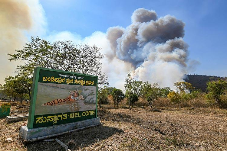 Shrinking terrain and shifting habitats How the Bandipur fires may be impacting tigers