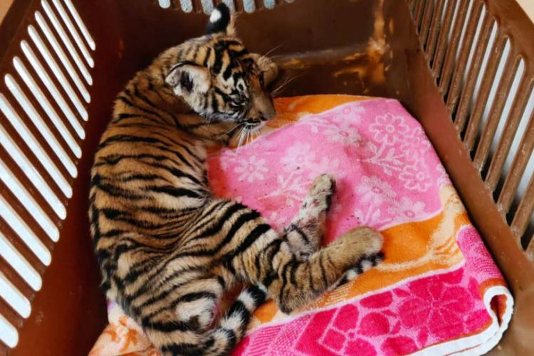 A tiger cub rescued from the Bandipur National Park lying on a pink and orange towel in a plastic box