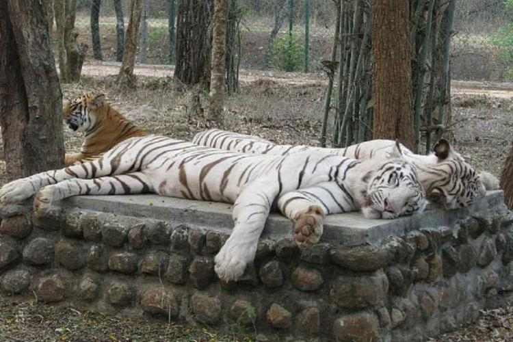 TIGERS AT BANNERGHATTA NATIONAL PARK