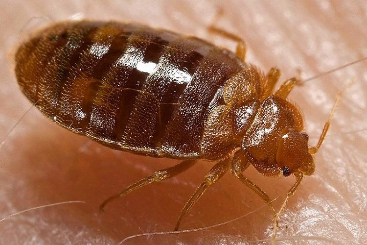 Everything you never wanted to know about bed bugs and more