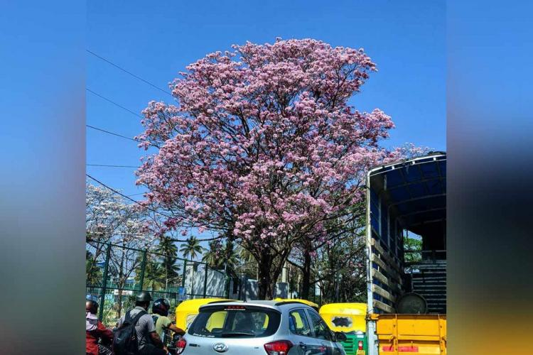 Pink flowering tree Tabebuia Rosea in Bengaluru traffic
