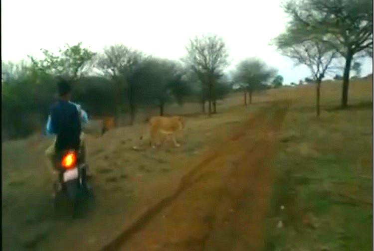 Watch Bikers chase bully lions in Gujarats Gir sanctuary police arrest three