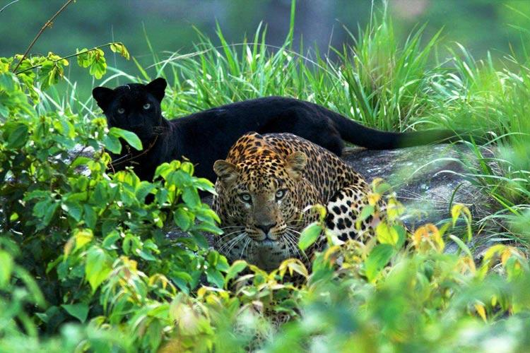 Black panther and leopard spotted together TN photographer captures rare sighting