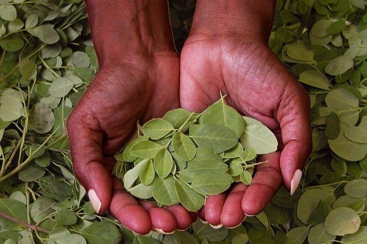 The Moringa tree enters the arsenal of treatments against chronic diseases