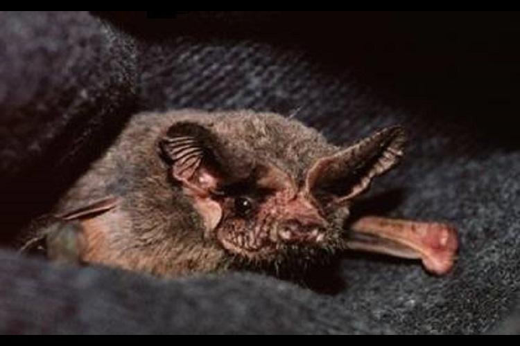 Brazilian free-tailed bat worlds fastest flying creature shows new study