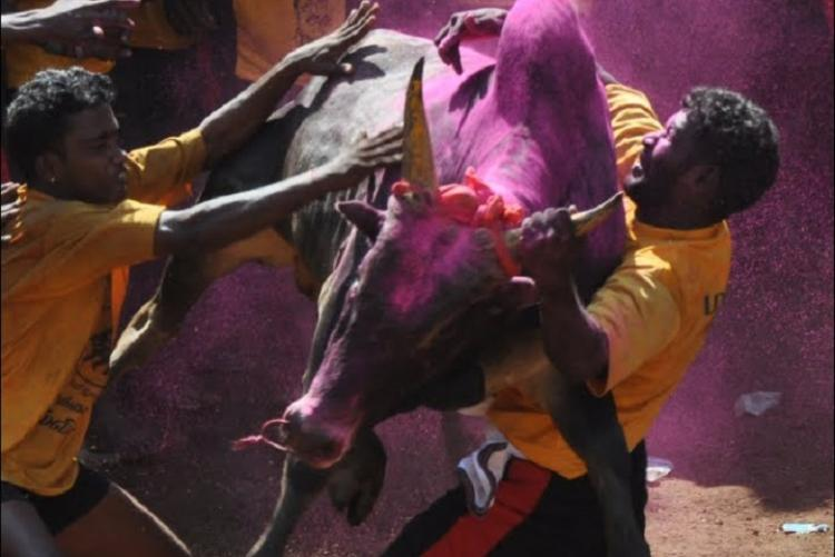 Dont bet on the bulls just yet govt might not allow jallikattu this year