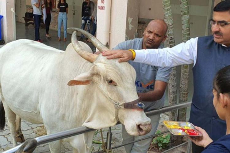 Person touching a bull on its forehead