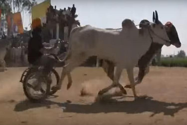 Telanganas Nagoba Jarara festival sees bullock cart race after almost three decades