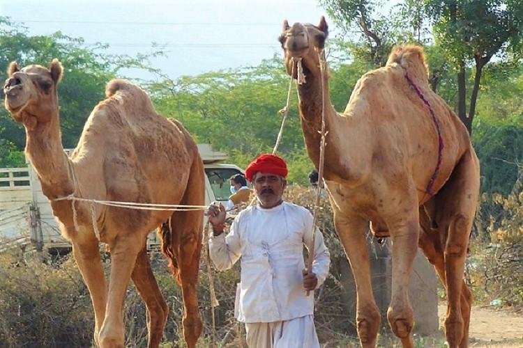 How 52 camels that were to be slaughtered in Hyderabad returned home to Rajasthan