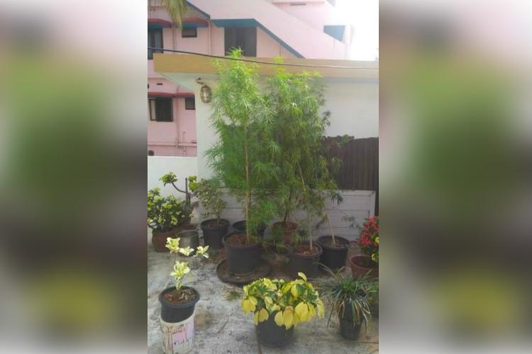 Kerala woman arrested for growing 6-feet tall ganja plant on rooftop