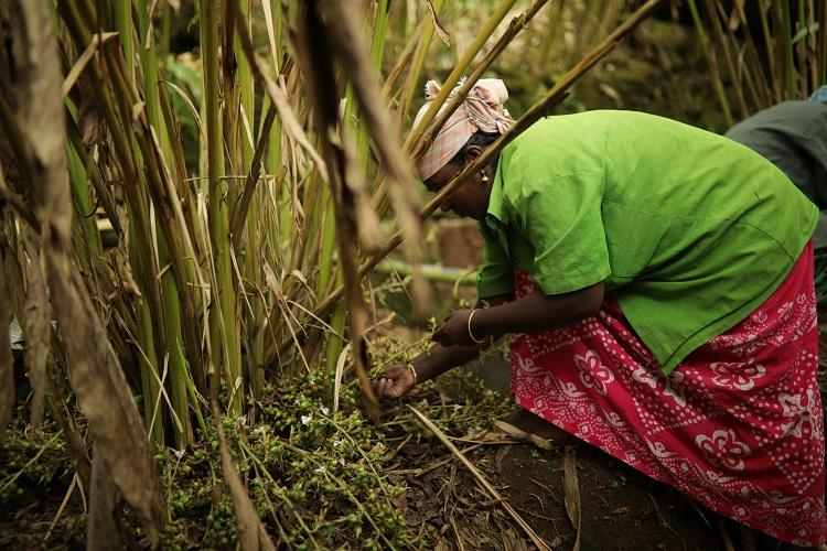From export to natural disaster cardamom cultivation in Kerala has fallen on hard times