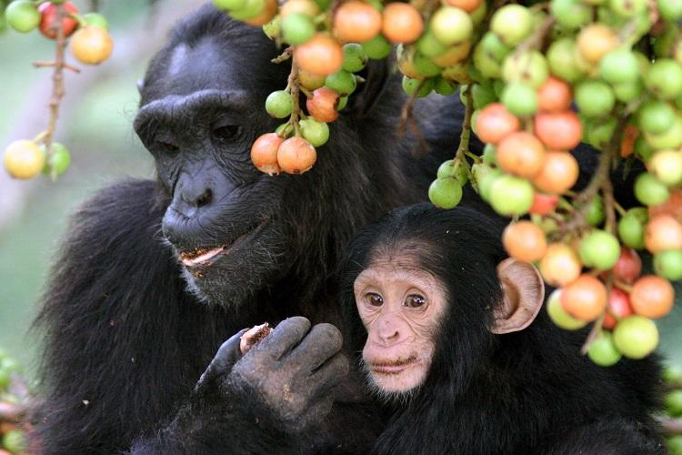 Chimpanzees eat plants that point to new ways of treating diseases