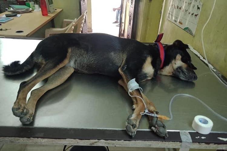 Chennai Park station dog Chinnaponnu falls sick animal rescuer urges for adoption