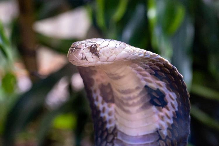 Snake king cobra