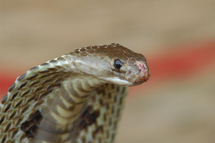 Commercial antivenom used in India largely ineffective finds IISc study