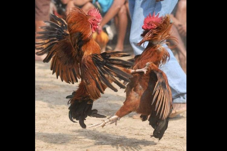 Andhra ban on cockfight ineffective as birds go on sale on OLX ahead of Sankranti