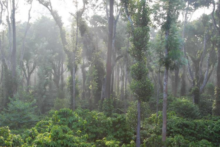 Misty morning in Coorg coffee estate showing a lot of coffee plants interspersed with tall trees