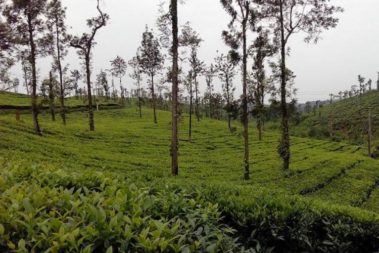 2 lakh kilos of adulterated tea destroyed by Tea Board in the Nilgiris