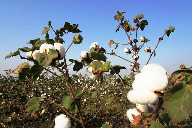 GM crops and the developing world Opposing sides miss the bigger picture