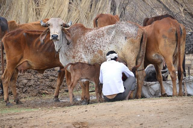 No cow slaughter this Bakrid assures Hyderabad police