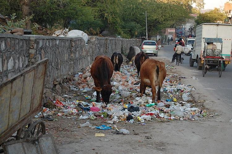Vijayawadas desperation to manage cow traffic on roads To serve notice to cattle owners