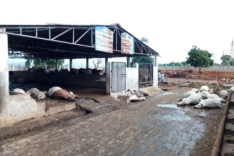 85 cows found dead in Andhra cow shelter officials say foul play unlikely