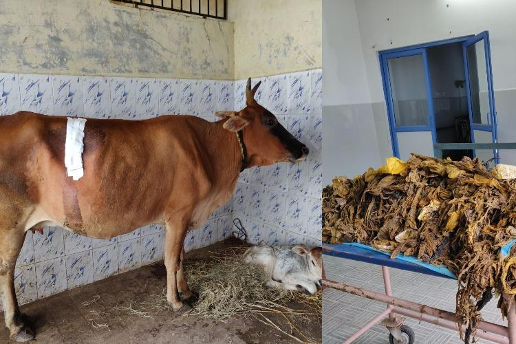 52 kg of plastic removed from cows stomach in TN surgery lasted for over 5 hours