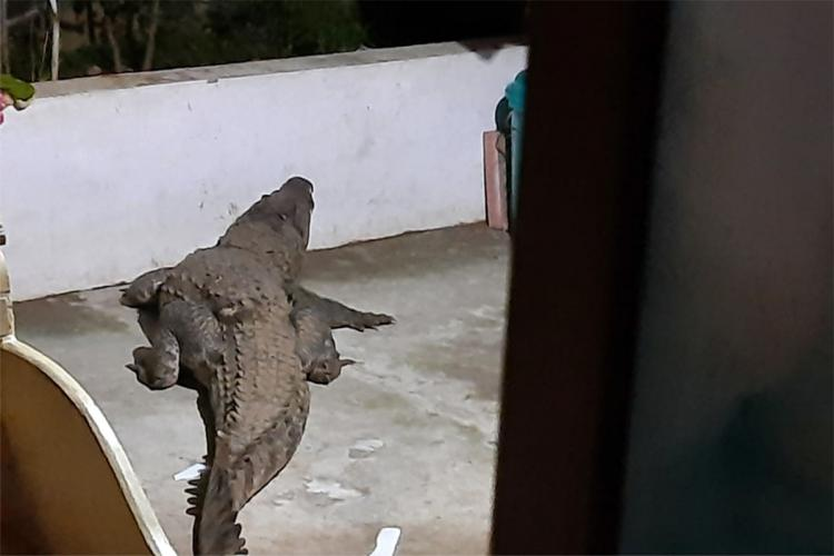 Photo of a two-metre-long crocodile taken from a partially open door in a house in Kerala