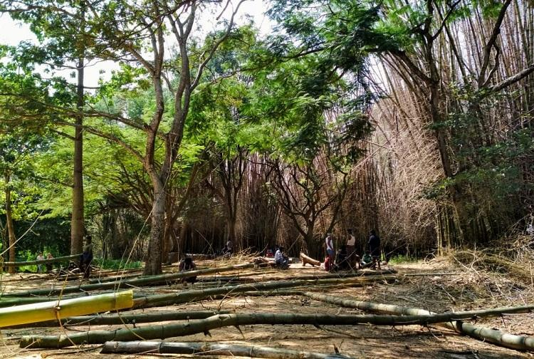 40-yr-old bamboo grove in Blurus Cubbon Park nears end of lifespan to be replaced