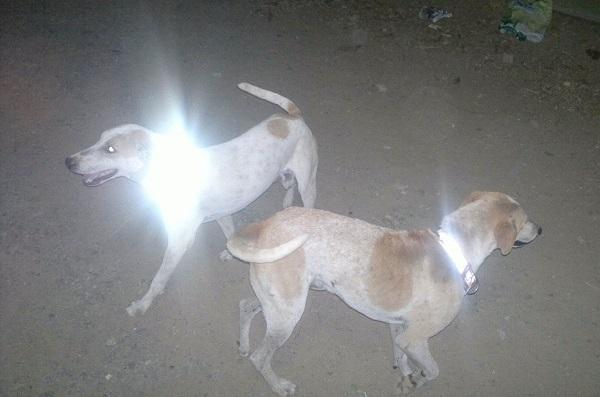 With glowing magic collars this NGO is saving Chennais strays from speeding vehicles