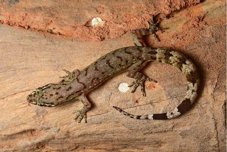 Bengaluru herpetologist-led team discovers six new species of Dravidogecko lizard