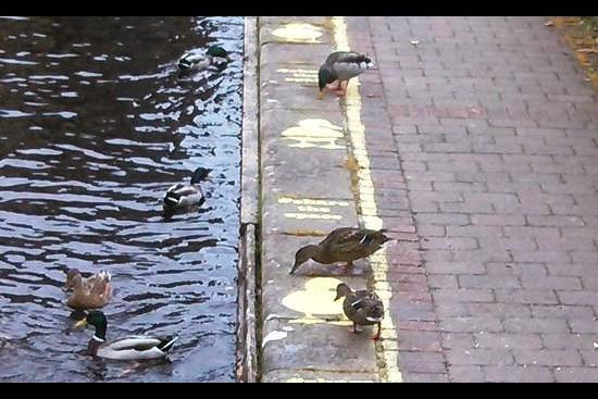While we struggle for pothole free roads and footpaths Britain gets duck lanes