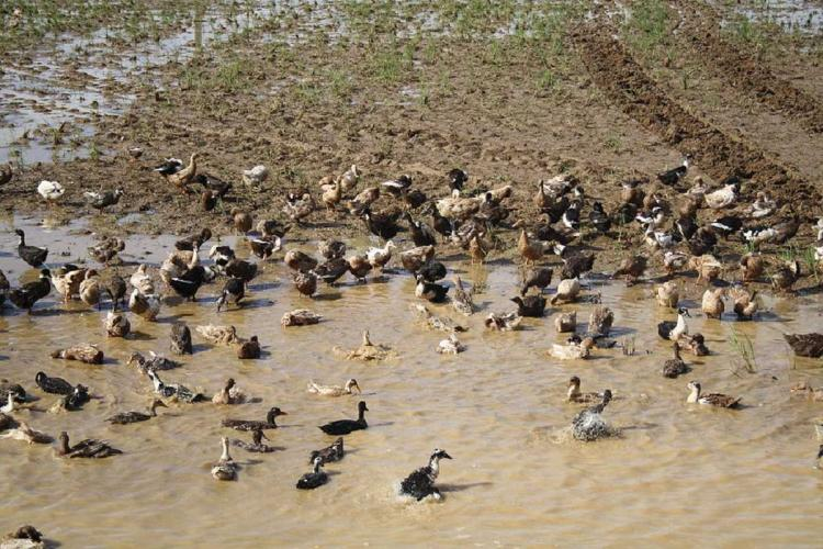 Ducks wading in a paddy field in Palakkad district