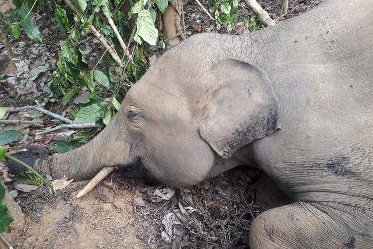Elephant shot dead in Kodagu village shooter absconding