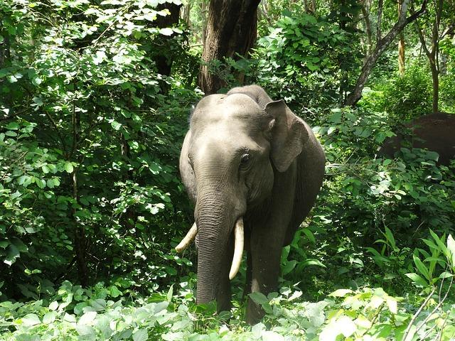 Kerala introduces ambulance service for wild elephants injured in the forests