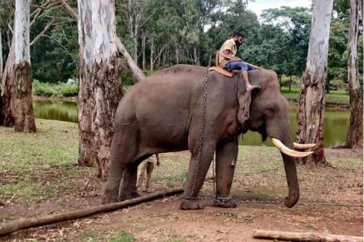 An elephant with its mahout on its back
