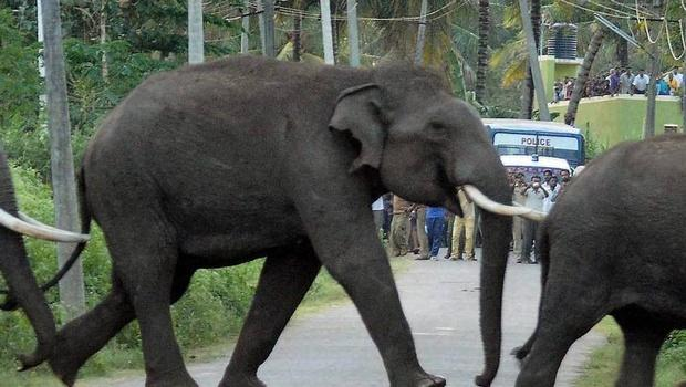 Kumkis brought in to capture rogue elephant creating panic in TN forest