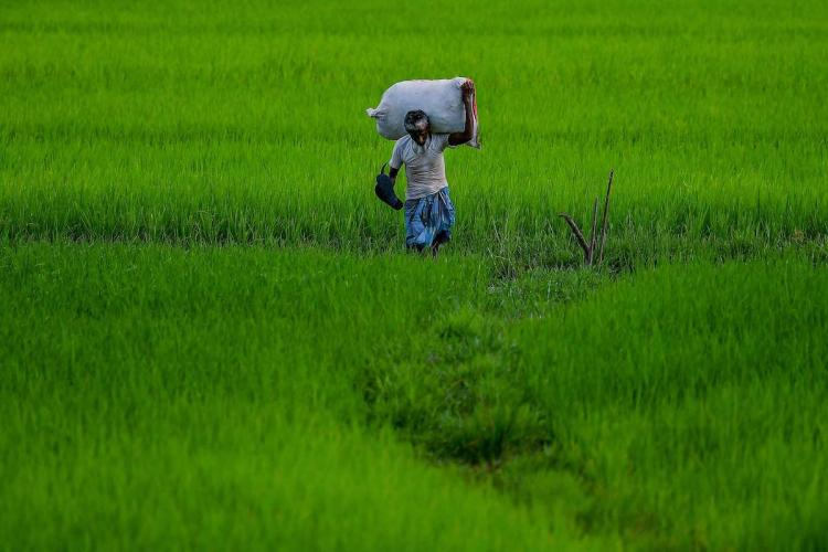 Farmer in paddy fields