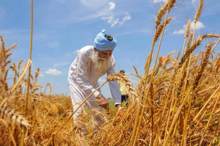Farmer harvesting wheat He is wearing a white shirt white veshti and a blue towel over his head