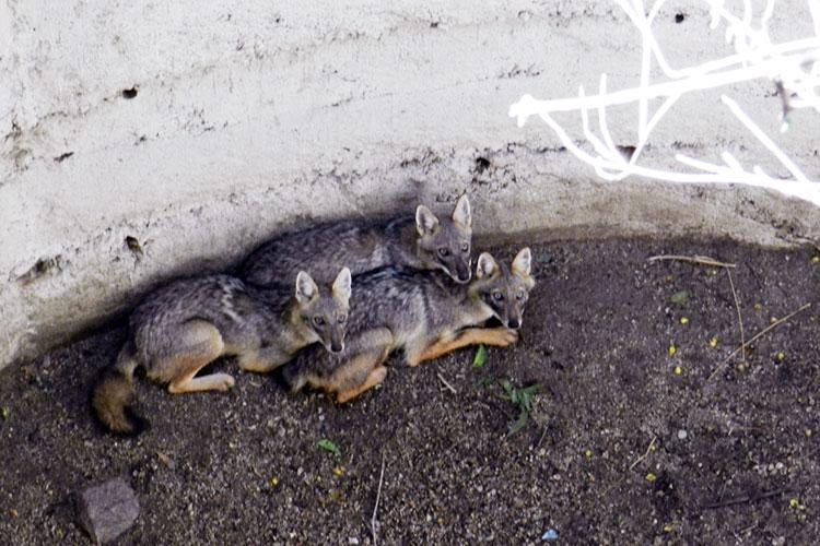 Trapped in a well for five days this mother fox and her cubs were finally rescued
