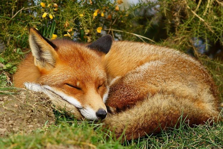 PETA India calls for ban of fox jallikattu events in parts of Tamil Nadu