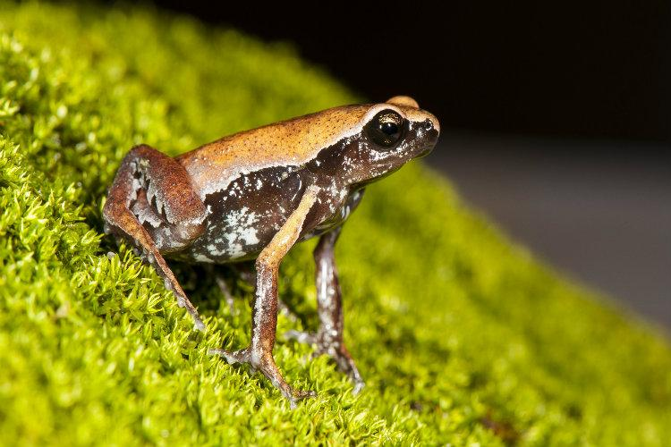 New mysterious frog found near human settlement in Kerala